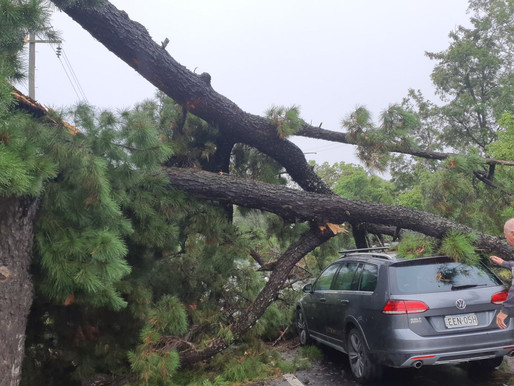 Zero responsibility – Not our tree says Council, yes it is says Transport for NSW