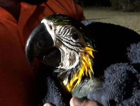 Macaw brought down to earth in South Windsor