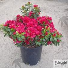 Azalea Hino Crimson