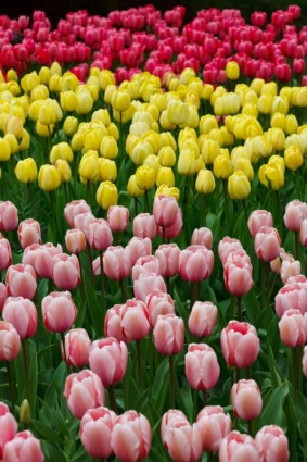 pink_yellow_and_red_tulips_.jpg