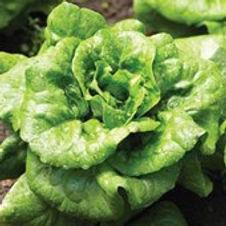 Lettuce Buttercrunch