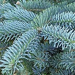 Colorado-Blue-Spruce.jpg