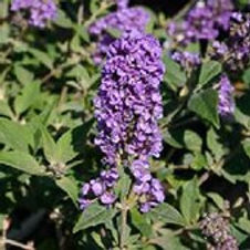 Butterfly Bush Lo & Behold®