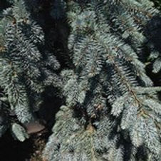 Blue Spruce Weeping