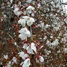 Cherry Snow Fountain