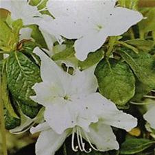 Azalea Delaware Valley White