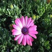Cape Daisy - Osteospermum