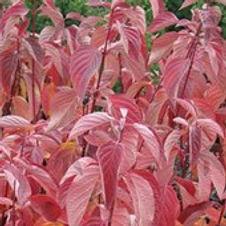 Dogwood Red Twig