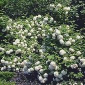 Viburnum Snowball