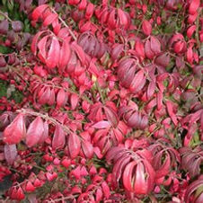 Euonymus Dwarf-Winged Burning Bush