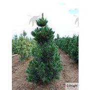 Limber Pine Vanderwolf