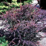 Barberry Rose Glow