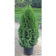Arborvitae Green Emerald