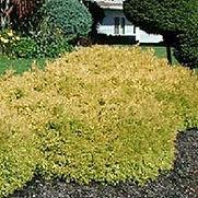 Arborvitae Rheingold