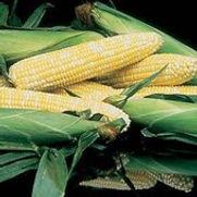Sweet Corn Honey N' Pearl