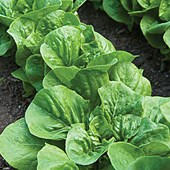 Romaine Parris Island Lettuce