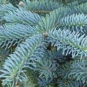 Blue Spruce Colorado