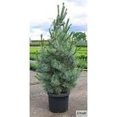 Limber Pine Domingo