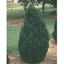 Boxwood Green Mountian