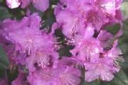 Rhododendron PJM