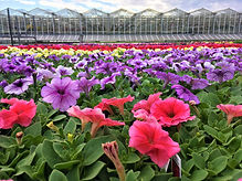 Petunias greenhouse edit.jpg