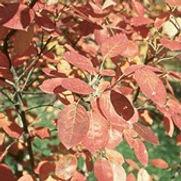 Serviceberry Autumn Brillance