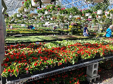 Annuals in the Greenhouse