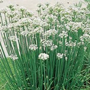 Chives Garlic
