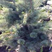 White Pine Negishi Japanese