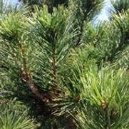 Pine Swiss Stone