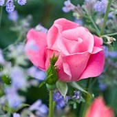 KNOCK OUT® Rose