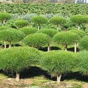 Pine Compact Tanyosho