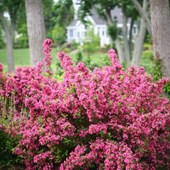 Weigela Sonic Bloom