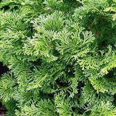 Cypress Dwarf Hinoki