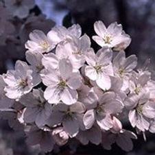 Cherry Yoshino