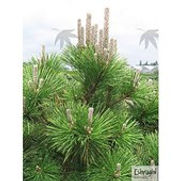 Pine Japanese Black