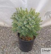 Spruce Dwarf Serbia