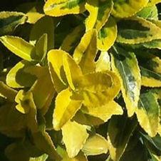 Euonymus Marginata