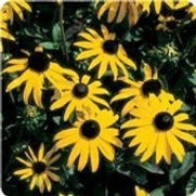 Black Eye Susans Goldstrum