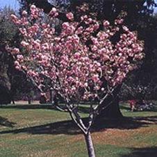 Cherry Kwanzan