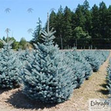Blue Spruce Fat Albert