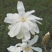 Magnolia Royal Star