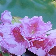 Azalea Traditional Pink