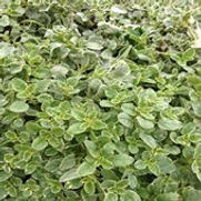 Oregano Variegated