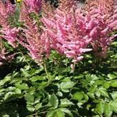 Astilbes Visions Pink