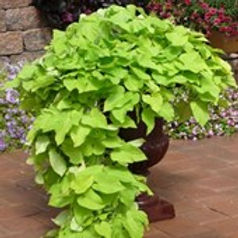 Ipomea Potato Vine