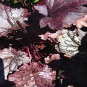 Palace Purple Heuchera Coral Bells