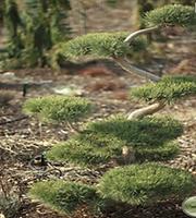Pine Poodle Dwarf Scotch