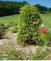 Juniper Gold Cone