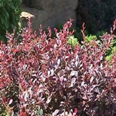 Barberry Royal Burgundy